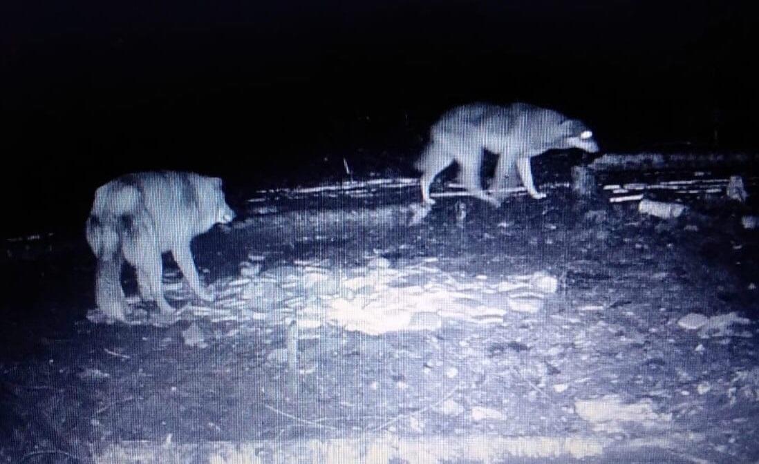 Очередные нападения волков. Как борются с лесным хищником